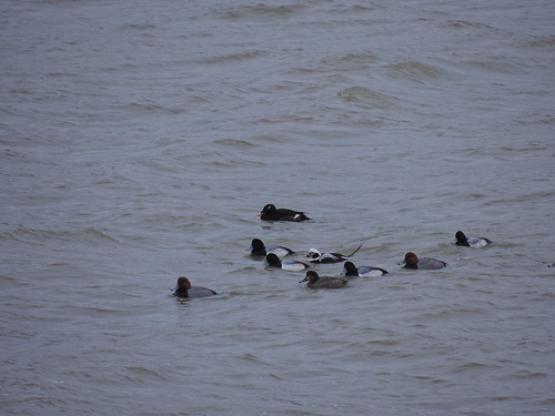 Raft of ducks - Redhead, long-tailed duck, WW Scoter, Scaup