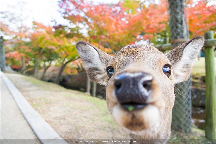 奈良自由行丨奈良公園.來場楓紅與日本梅花鹿的超萌接觸