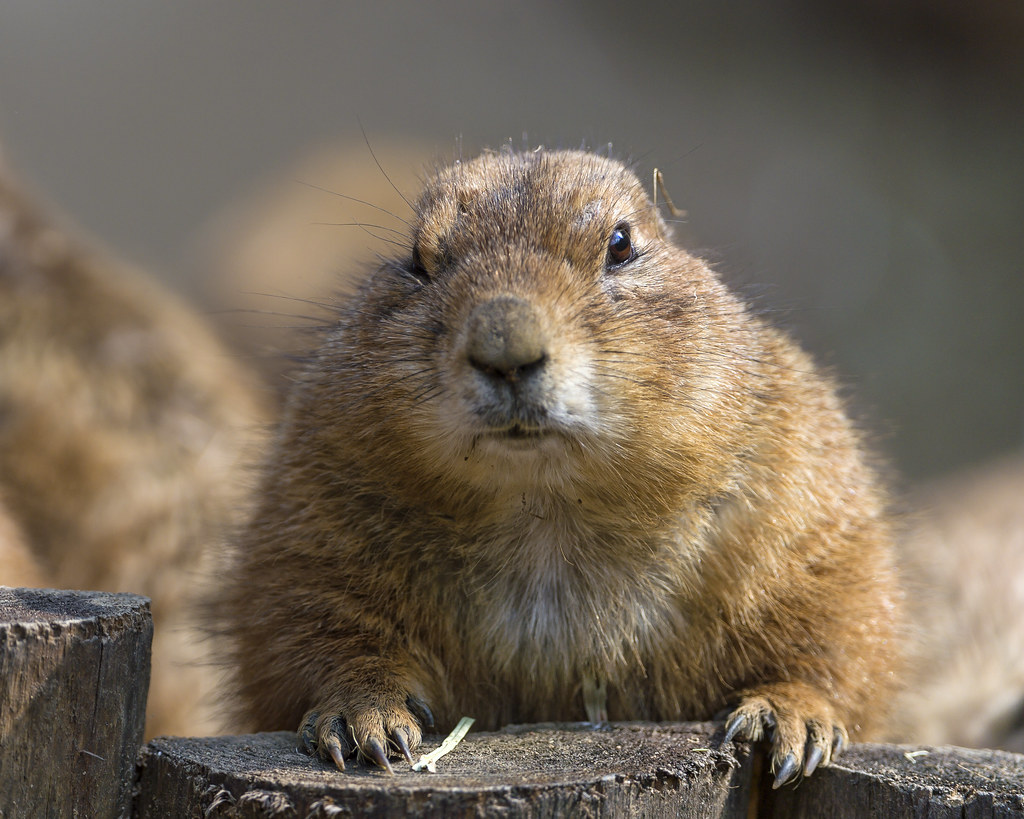 Cute posing prairie dog | Yes, really cute animals ... Really Cute Baby Animals Pictures