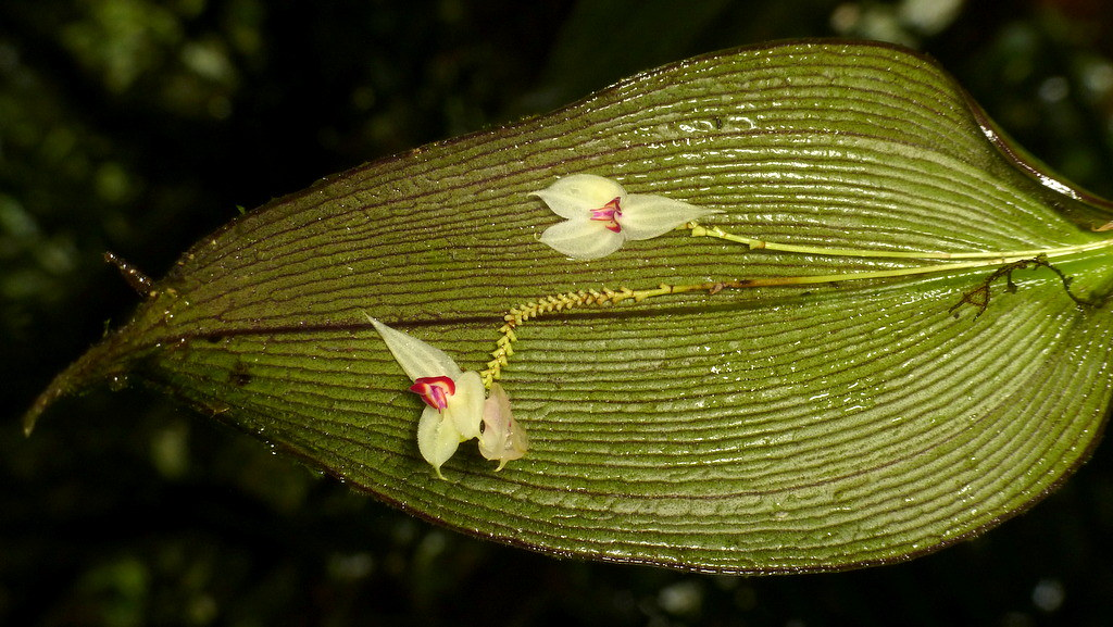 Lepanthes magnifica | Andreas Kay | Flickr