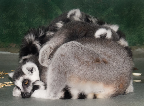 Ring-tailed lemur | by Podsville