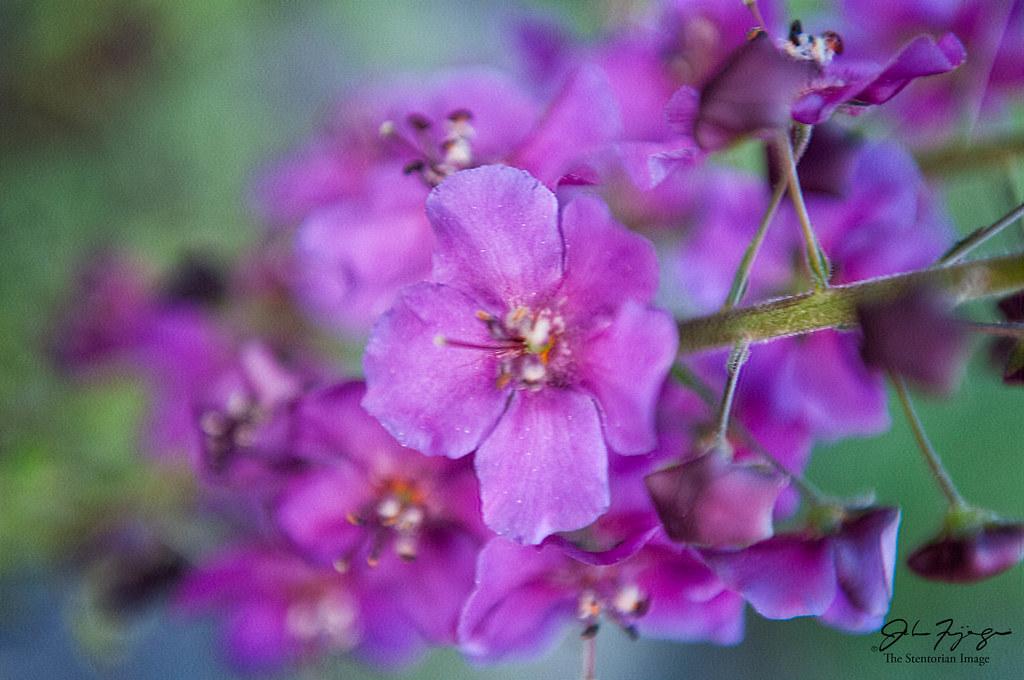 Fuchsia Coloured Flowers