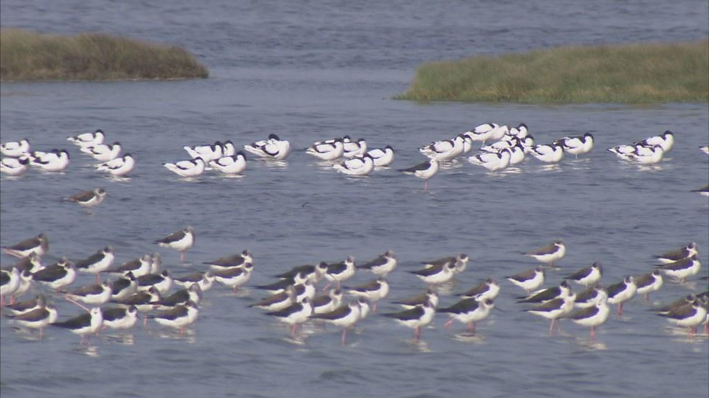 897-1-01 來到位在嘉義的布袋鹽田,在路邊停下仔細觀察,就能發現鹽田裡聚集了一群又一群遠道而來的水鳥。