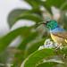 Collared Sunbird (Hedydipna collaris)
