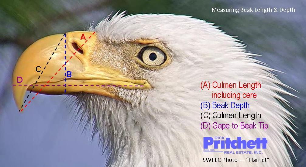 Swfl Eagle Cam >> Measuring Beak Length & Depth | Photo taken from SWFEC. This… | Flickr