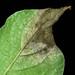 Infected potato plant