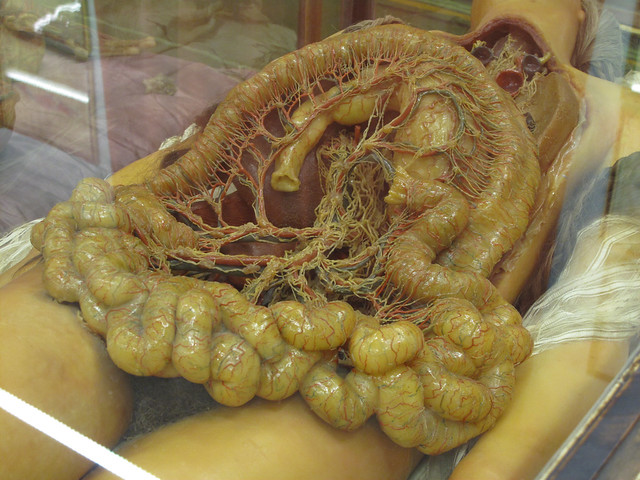 Real Human Intestine H...