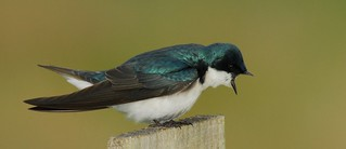 Tree Swallow Sreeching at another Swallow | by ctadventures2005
