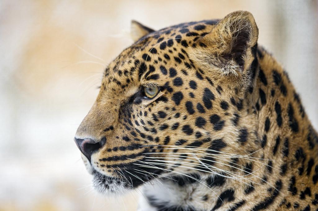 Profile Of P 228 Dy Profile Of P 228 Di The Young Male Leopard