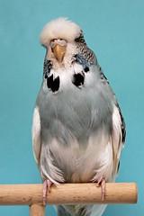 Bester Altvogel Gegengeschlecht 0.1 Australischer Schecke grau