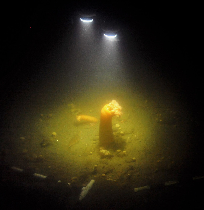 Remotely operated vehicle lights shine down on two anemones during camera installation operations in Saanich Inlet, September 2012.
