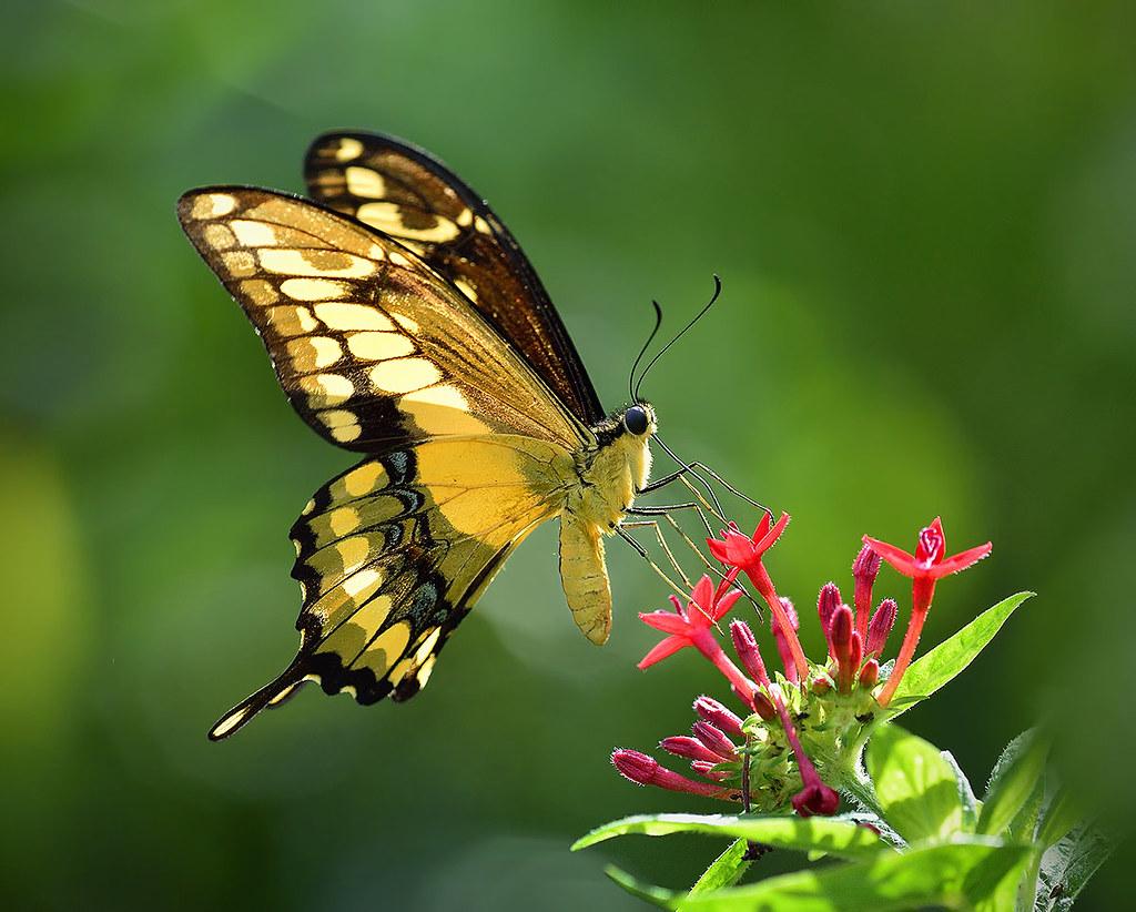 Thoas Swallow tail Butterfly in flight feeding on Pentas L ...