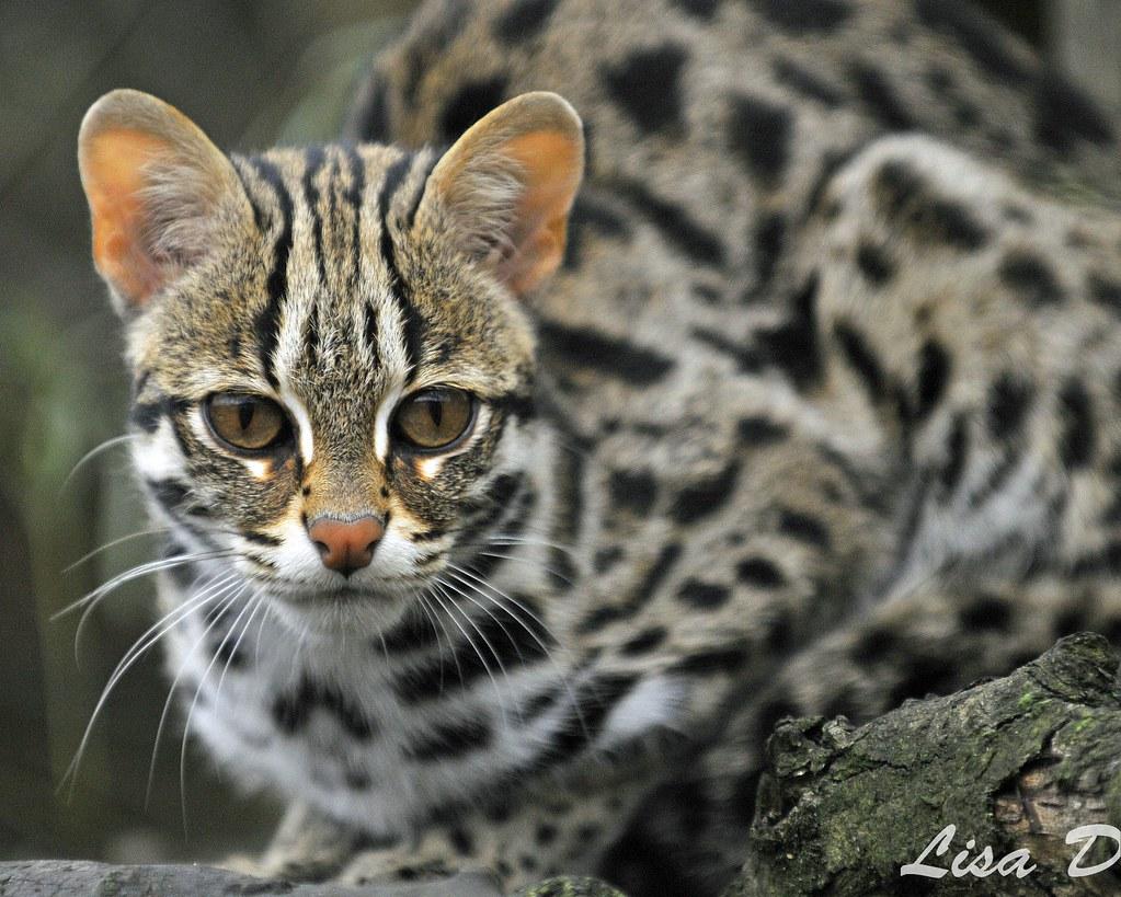 leopard cat for sale ontario