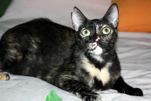 FALLECIDA- Mandala, preciosa gatita carey dulcísima de ojos verdes esterilizada, nacida en Julio´14, en adopción. Valencia. 19384374743_329c331a5a