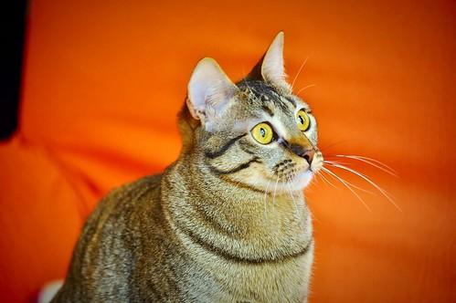 Muriel, gatita atigrada parda tímida y dulce esterilizada, de ojos cobrizos, nacida en Abril´16, en adopción. Valencia. 33245783085_75299c5369