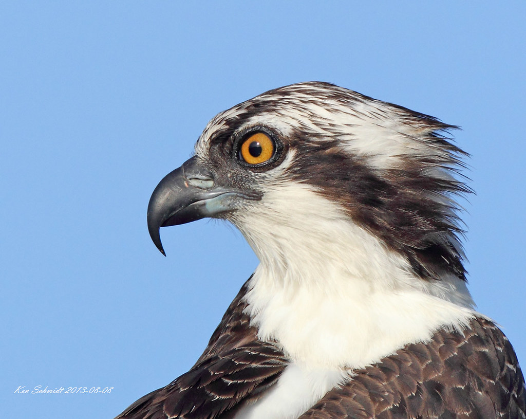 Osprey Head Image This Should Be The State Bird For