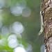 IMG_9354 copy Olive Tree Skink (Dasia olivacea)
