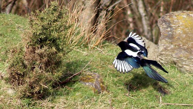 Magpie landing - photo#20