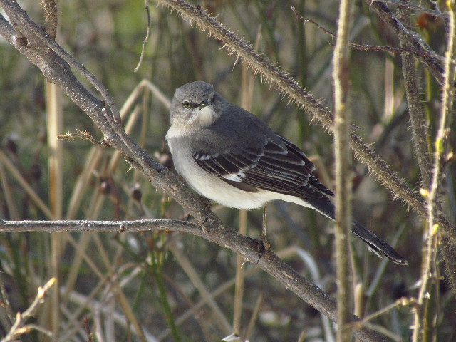 Northern Mockingbird2 3:23:13