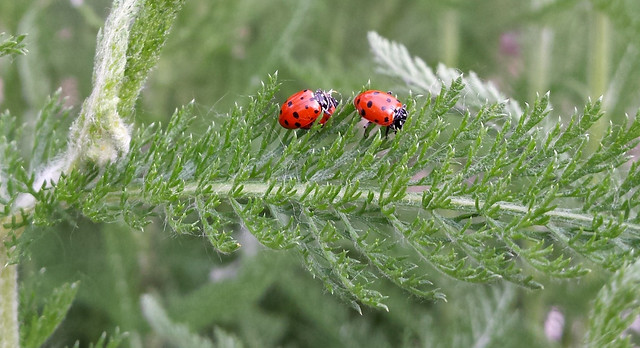 mating ladybugs following a single ladybug across a yarrow leaf