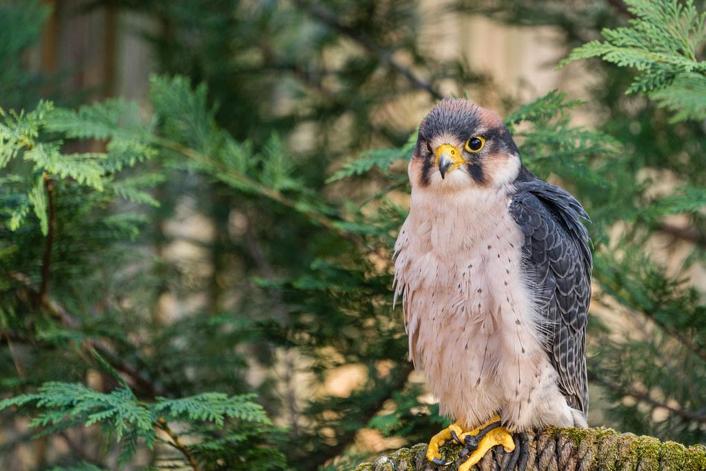 eagle, hawk, Carolina raptor center, charlotte, nc