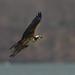 Ma Osprey