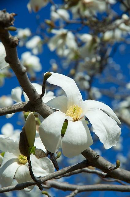 BLUE SKY AND WHITE FLOWER(KOBUSHI)