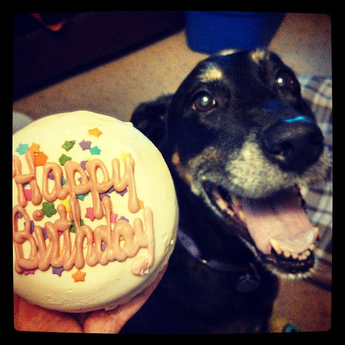 She finally got her cake! #dogstagram #birthday #cake #dobermanmix #smile