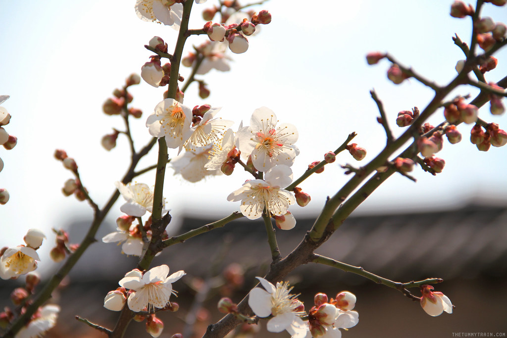 33373180352 e84de7b33e b - Seoul-ful Spring 2016: Greeting the first blooms at Changdeokgung Palace