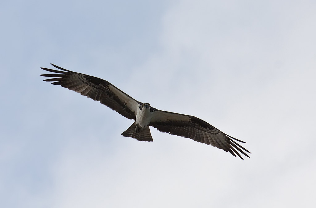Osprey pandion haliaetus fish hawk sea eagle sea hawk for Fish hawk bird