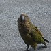 Kea,  Native Parrot of New Zealand