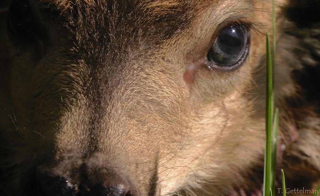 Big Eyes: Mule deer fawn (Odocoileus hemionus) | This fawn ...