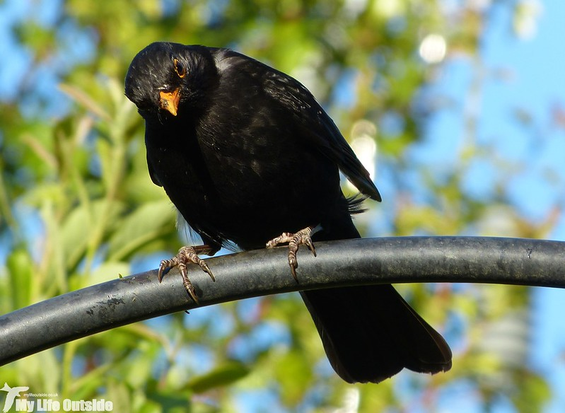 P1130317 - Blackbird