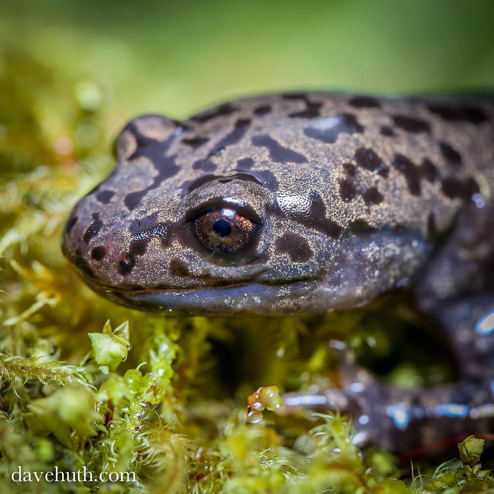 Pacific Giant Salamander (Dicamptodon tenebrosus) - rare t ...