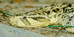 Puff Adder is the snake responsible for most deaths in Africa.