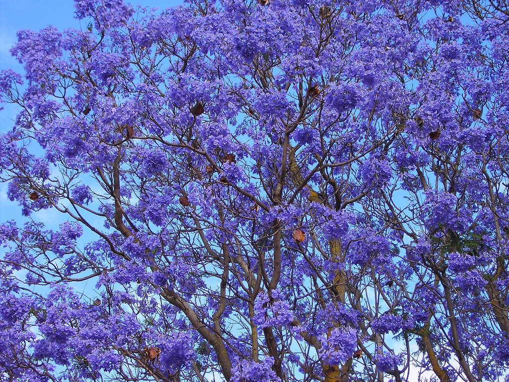Jacaranda flowering time in Adelaide South Australia | Flickr