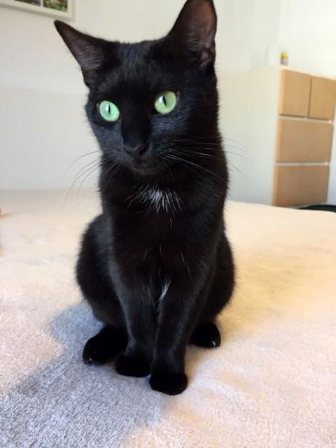 Morgana, gatita negra monísima, juguetona y tímida esterilizada, nacida en Julio´16, en adopción. Valencia. ADOPTADA. 33288751476_0bc7b6b66d_z