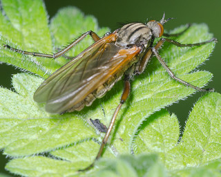 Empis tessellata | by afterforty‽