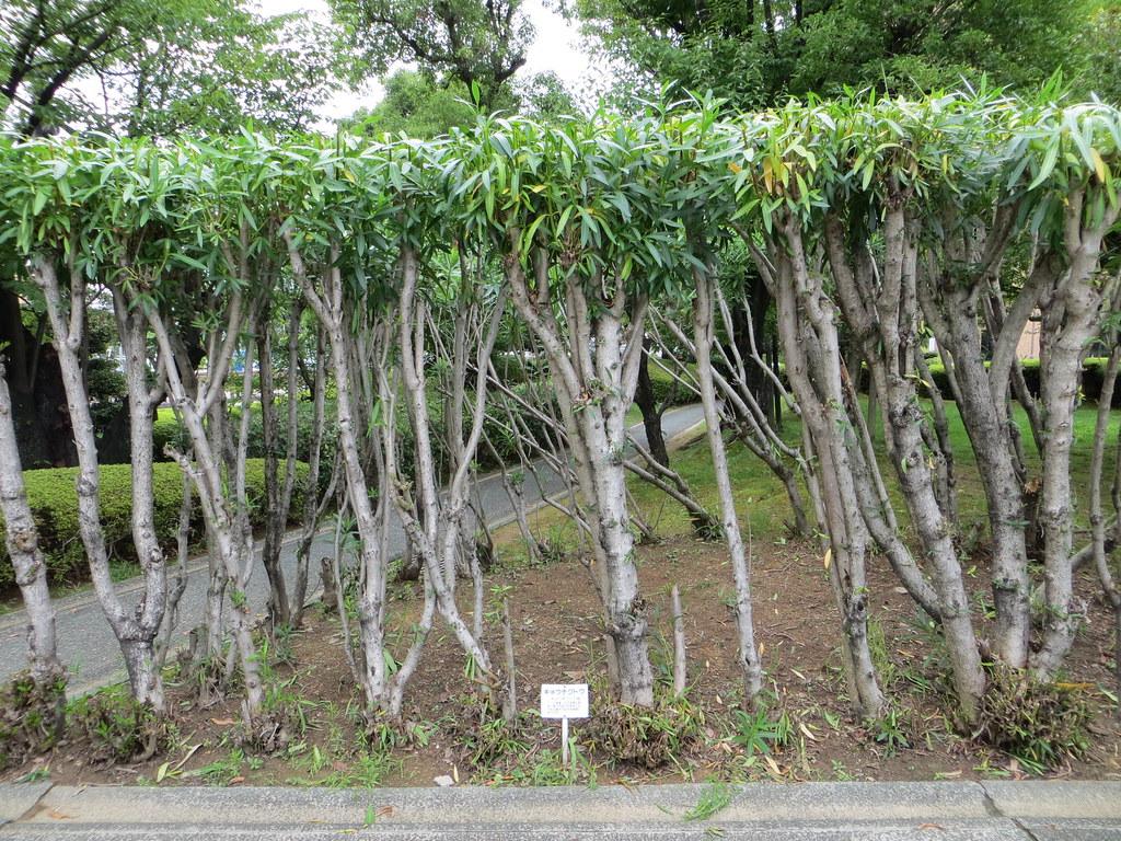 Pruned oleander hedge pruned oleander hedge prefectural for Oleandro potatura