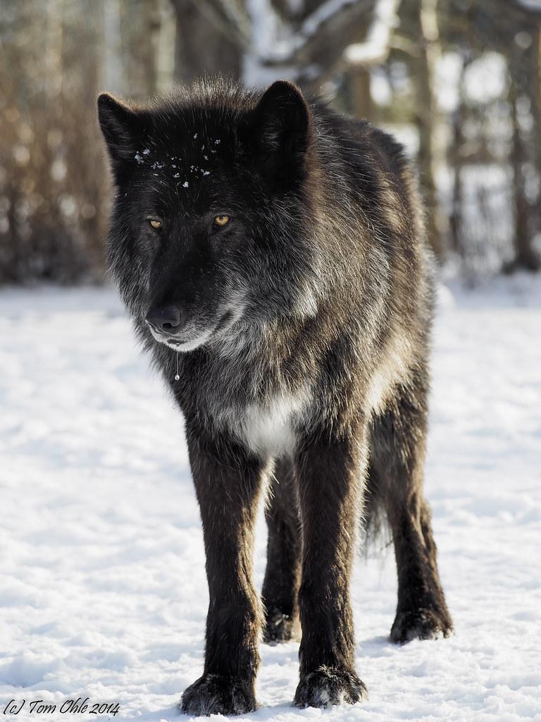 Origin of the domestic dog  Wikipedia