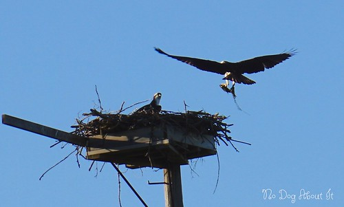 Daddy Osprey delivers dinner
