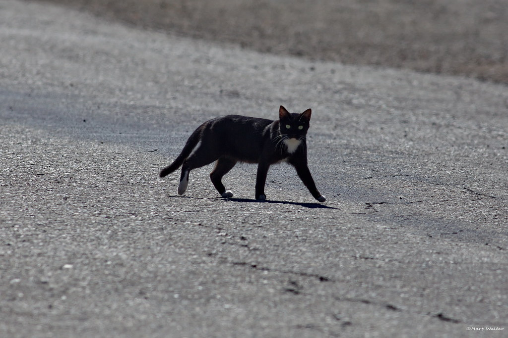 Black cat crossing road bombay beach salton sea ca img for Portent meaning in english
