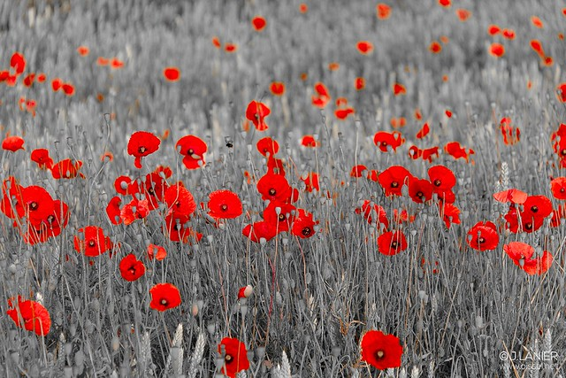 """""""Bloody Coquelicot"""" #6 - Oissel 06/2015"""