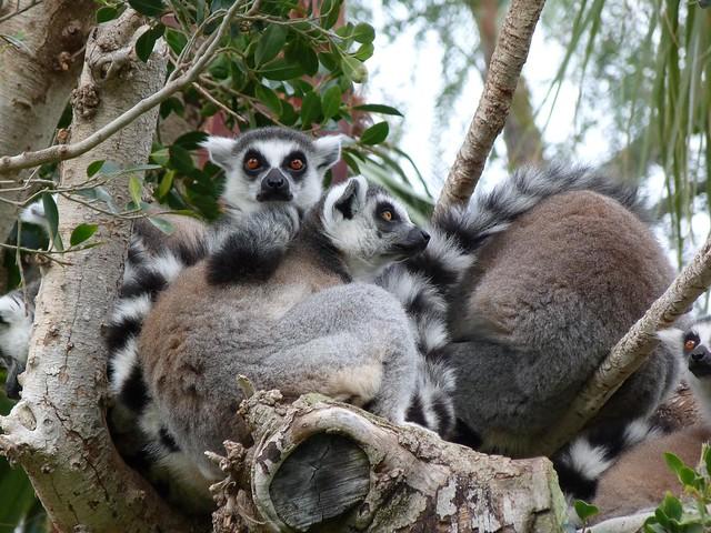 Lemures en BIOPARC Valencia