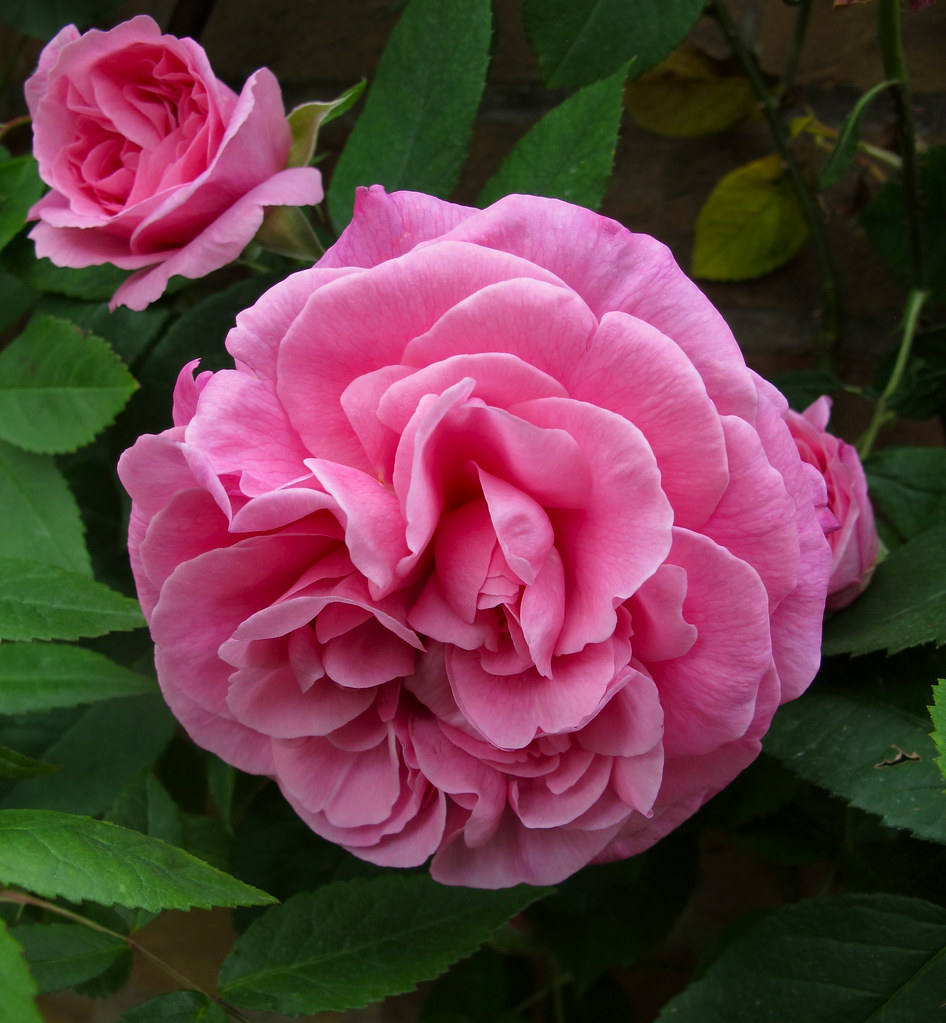rosa gertrude jekyll beautifully scented english rose. Black Bedroom Furniture Sets. Home Design Ideas