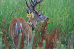 Columbian white-tailed deer with ear tags.