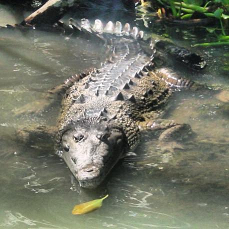 jamaican crocodile - photo #6