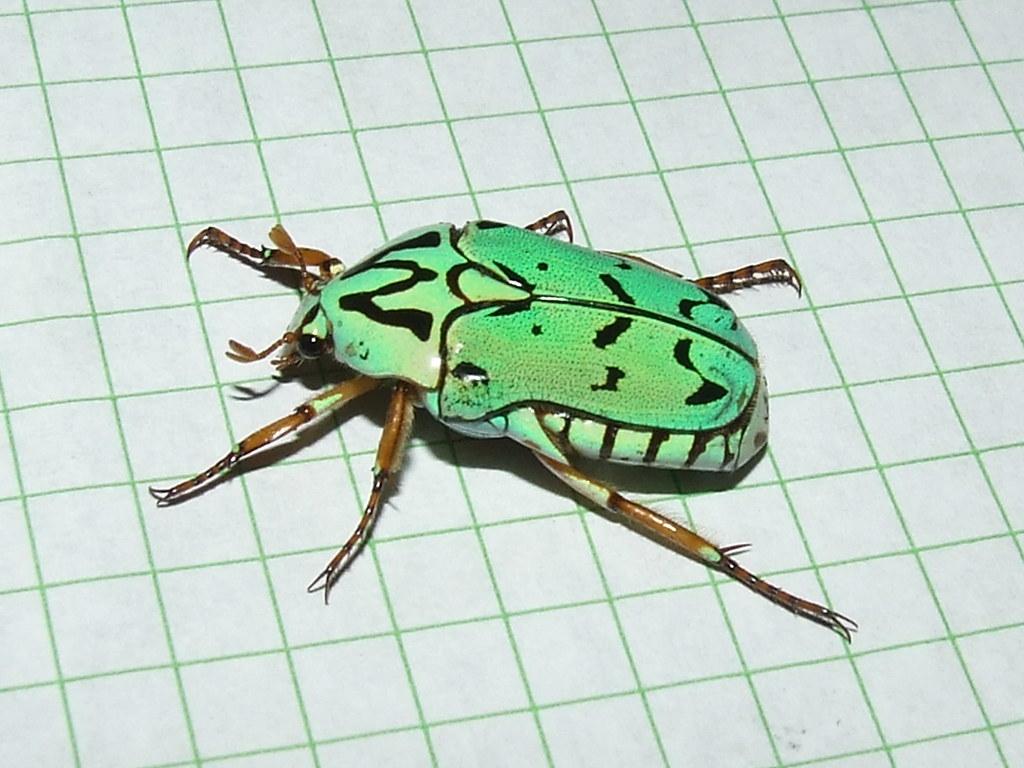 Cetoniidae>Eupoecil...
