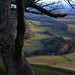 Sycamore, Pentland Hills