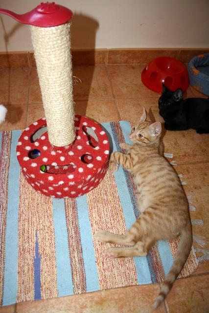 Jerry, gatito rubio guapo muy dulce y bueno, esterilizado, nacido en Abril´15 en adopción. Valencia. ADOPTADO. 19382590904_1507966ec7_z